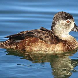 Matt Blankenship - Ring-necked duck close