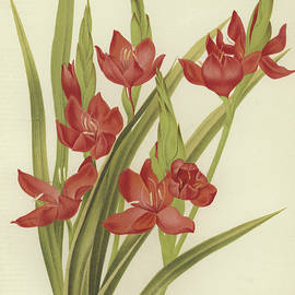 River lily or crimson flag - English School