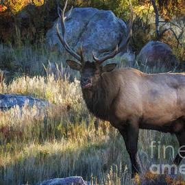 Priscilla Burgers - Rocky Mountain National Park Elk