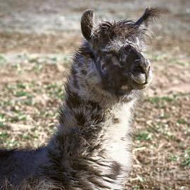Janice Rae Pariza - Rocky The Llama