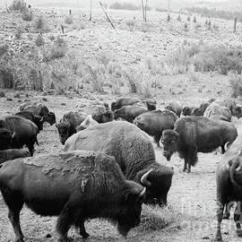 Roosevelt  King of the Herd - American School