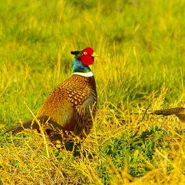 Jeff  Swan - Rooster Pheasant with girlfriend
