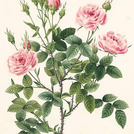 Rosa Pomponia - Pierre Joseph Redoute