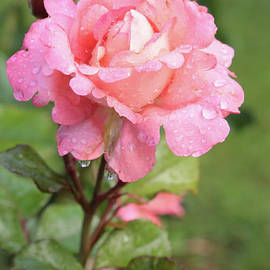 Carol Groenen - Rose After the Rain