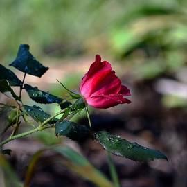 Karen  Majkrzak - Rose and Raindrops