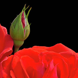 Wim Lanclus - Rose Bud