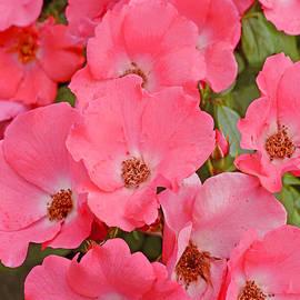 Regina Geoghan - Rose Cascade
