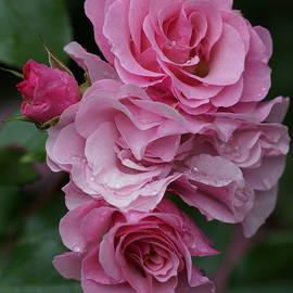 Carrie Goeringer - Rose Cluster