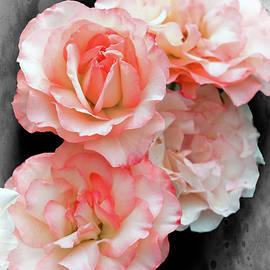 Geraldine Scull - Rose Garden roses