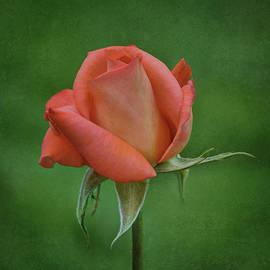 Nikolyn McDonald - Rose in Bloom