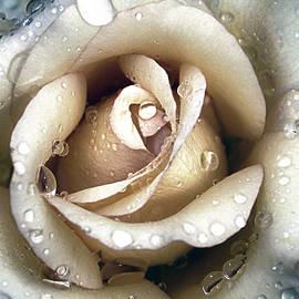 Julie Palencia - Rose in Gold With Water Drops