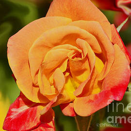 Debby Pueschel - Rose of Beauty