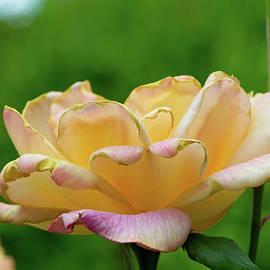Larry Bishop - Rose Open Yellow Pink