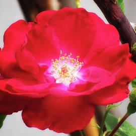 MTBobbins Photography - Rose Red and Thorns Glow