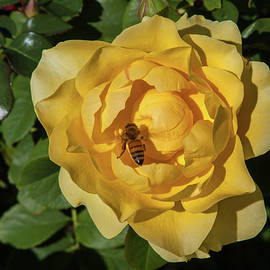 Sally Weigand - Rose With Bee