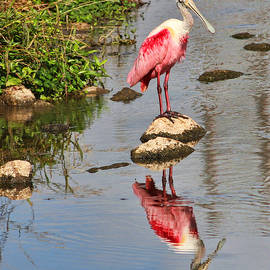 TN Fairey - Roseate Spoonbill reflections