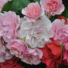 Carrie Goeringer - Roses