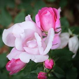 Cynthia Guinn - Roses In Different Stages