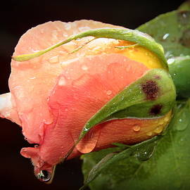 Nigel Espley - Rose