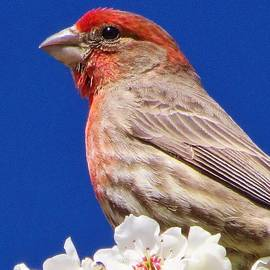 Lori Frisch - Rosy Finch in Blossoms