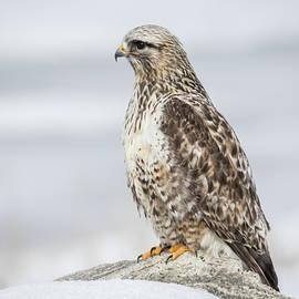 Mavourneen Strozewski - Rough Legged Hawk