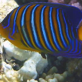 Royal Angelfish 3
