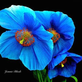 Jeannie Rhode Photography - Royal Blue Poppies