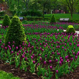 Georgia Mizuleva - Royal Purple Tulips