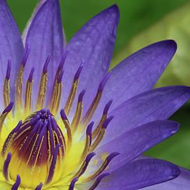 Judy Whitton - Royal Purple Water Lily #16