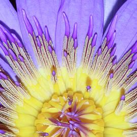 Judy Whitton - Royal Purple Water Lily #19