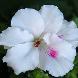 Sergey Lukashin - Royal white geranium
