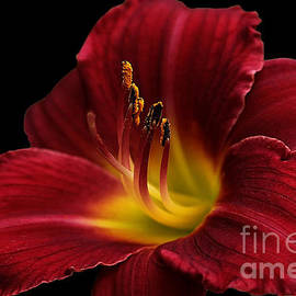 Vickie Emms - Ruby Stella Day Lily