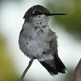 Ruby-throated hummingbird J