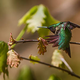 John Haldane - Ruby Throated Hummingbird