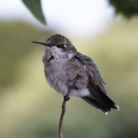 Ruby-throated hummingbird S