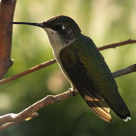 Ruby-throated hummingbird U