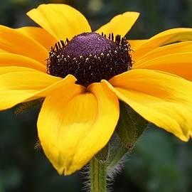 Bruce Bley - Rudbeckia Bloom Up Close