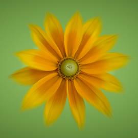 Patti Deters - Rudbeckia Blossom Irish Eyes - square