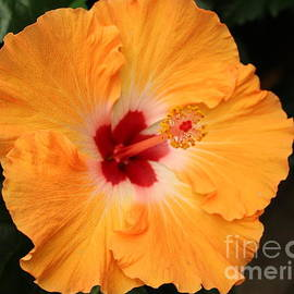Photographic Art and Design by Dora Sofia Caputo - Ruffled Hibiscus