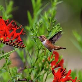 Belinda Greb - Rufous Hummingbird at Large, No. 4