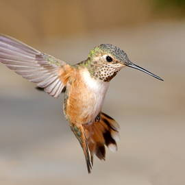 Ron D Johnson - Rufous Hummingbird Flight
