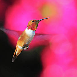 Lynn Bauer - Rufous Hummingbird on Pink