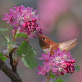 Angie Vogel - Rufous in the Currant