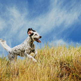 Flying Z Photography By Zayne Diamond - Running the Field, English Setter