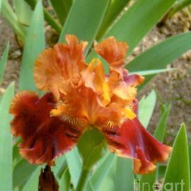 Ruth  Housley - Rust and Orange Iris