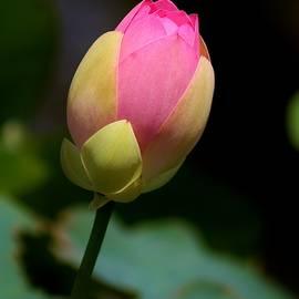 Karen Silvestri - Sacred Lotus Bud 3