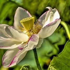 Geraldine Scull   - Sacred Lotus