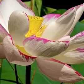 Geraldine Scull   - Sacred Lotus series