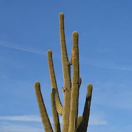 Aimee L Maher Photography and Art - Saguaro Cactus