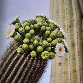 Saija Lehtonen - Saguaro Cactus Blooming